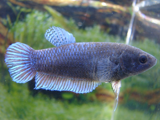 Blue Assassins Betta Plakat Fighter Female