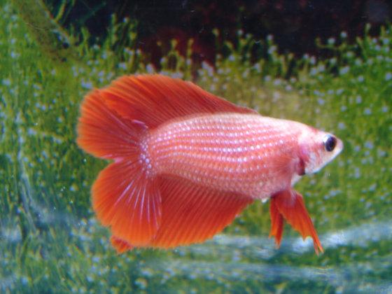 Red Double Tail Halfmoon Female Betta