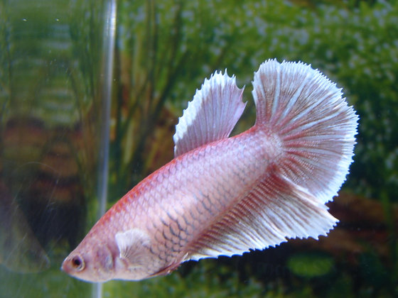 Magenta Halfmoon Female Betta