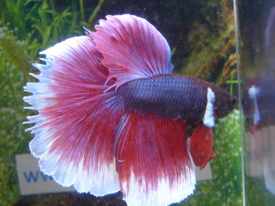 Purple Halfmoon Betta Rose Tail