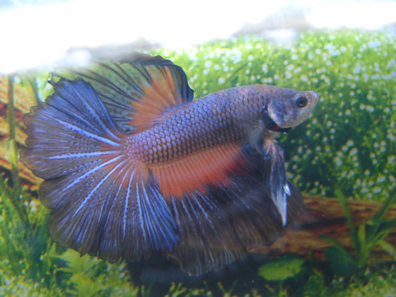 Blue Orange Halmoon Betta