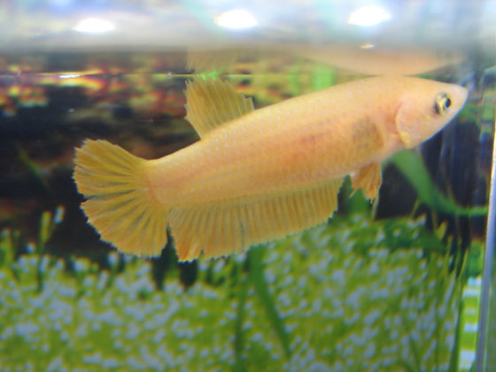 Yellow Halfmoon Plakat Female Betta