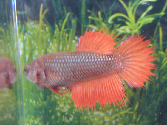 Red Crowntail Female Betta