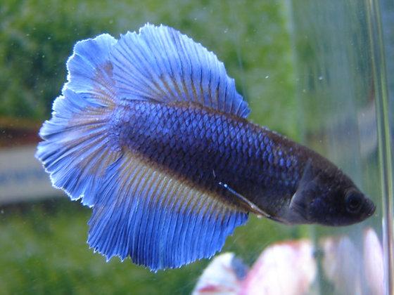 Blue Macaw Double Tail Halfmoon Female Betta