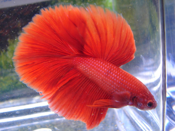 Super Red Halfmoon Betta Sipling Pair!@
