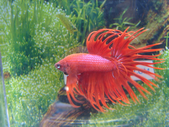 Blood Red Crowntail Betta