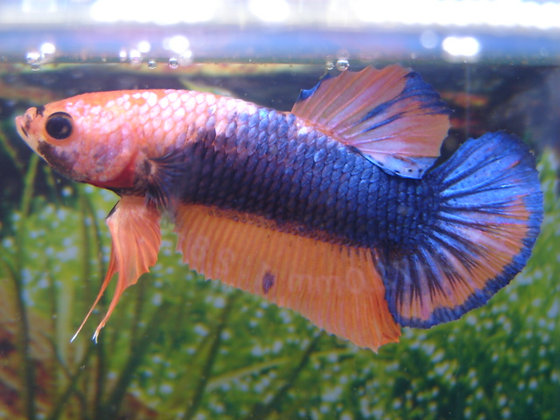 Blue Orange Halfmoon Plakat Betta