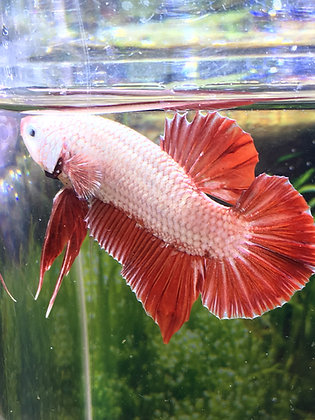 Red Dragon Halfmoon Plakat Betta