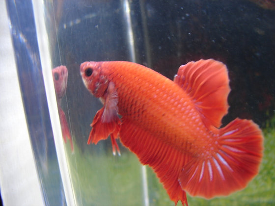 Red Samurai Halfmoon Plakat Betta
