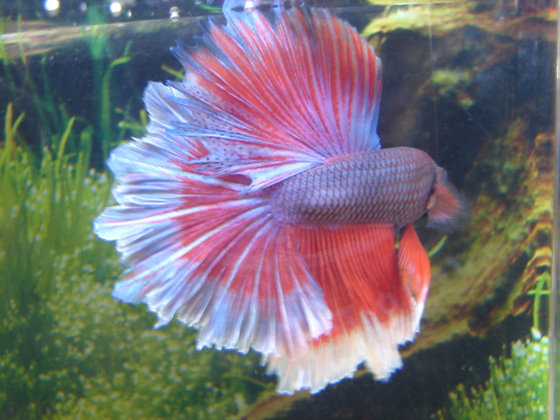 Superman Halfmoon Betta