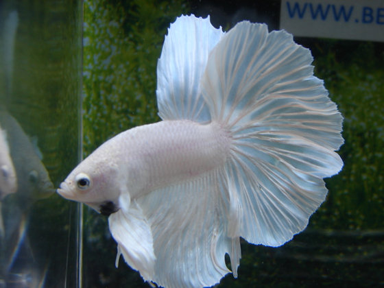 Snow White Halfmoon Betta