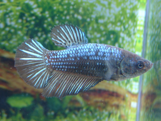 Metallic Blue Green Halfmoon Female Betta