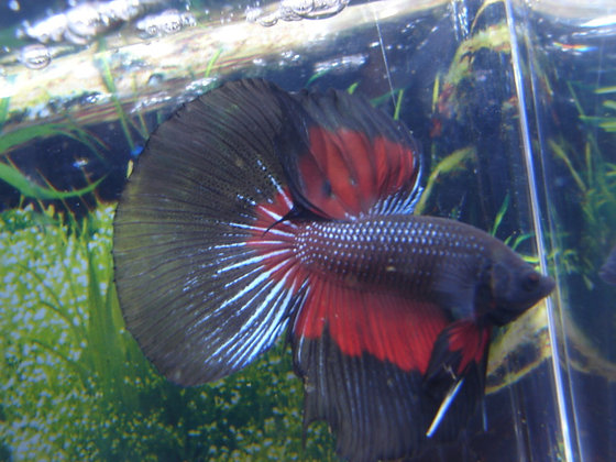 Dark Knight Halfmoon Betta