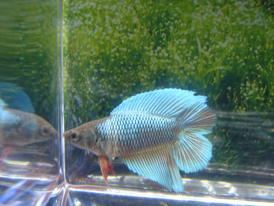 Green Red Double Tail Halfmoon Female Betta