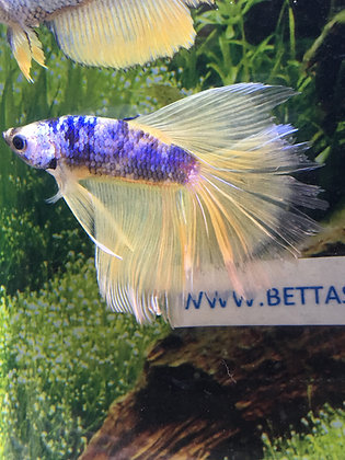 Blue Koi Halfmoon Betta Sale