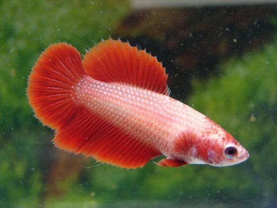Red Halfmoon Female Betta