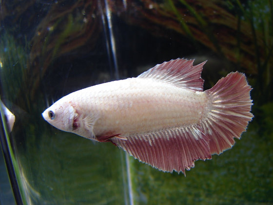 Lavender Halfmoon Female Betta