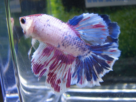 Blue Marble Halfmoon Betta