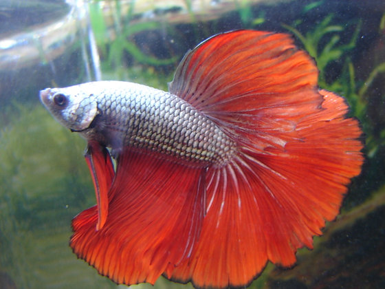 Black Fire Halfmoon Betta