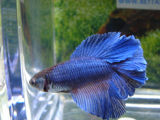 Blue Double Tail Halfmoon Female Betta