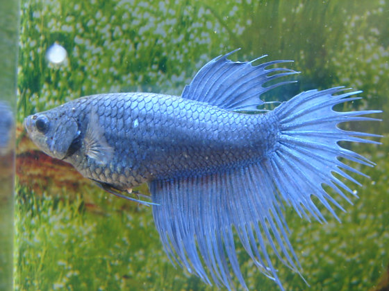 Royal Blue Crowntail Female Betta