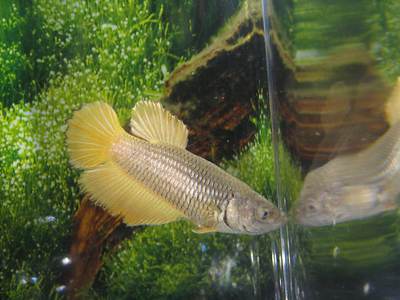 Golden Halfmoon Female Betta