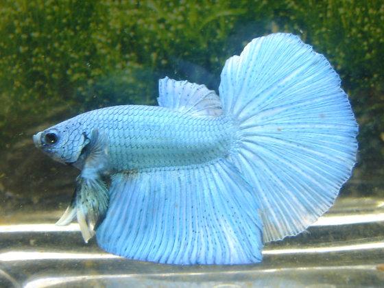 Blue Turquoise Halfmoon Betta