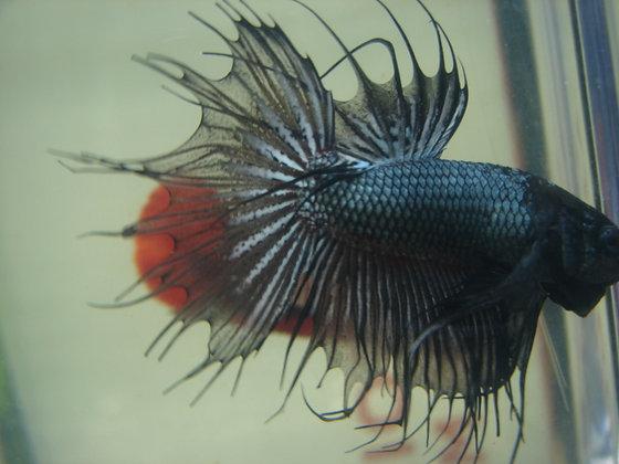 Black Warrior Crowntail Betta