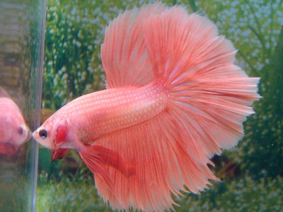 Peach Coral Halfmoon Betta