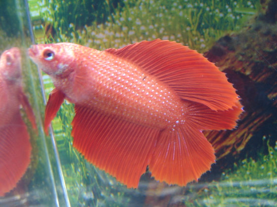 Red Double Tail halfmoon Female Betta