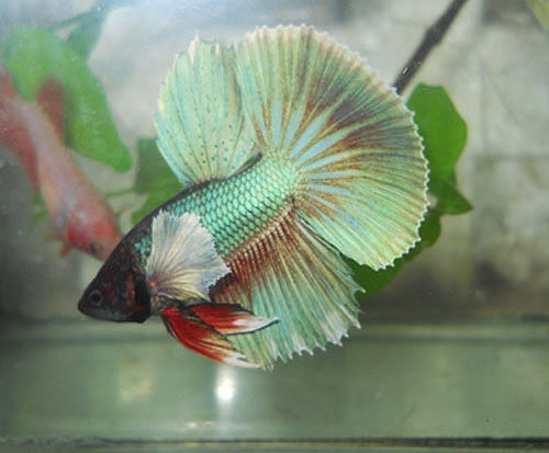 Green Halfmoon Dumbo Ears Betta