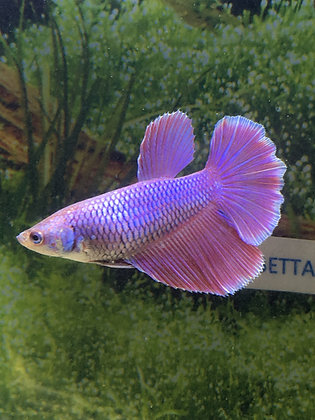 Ultra Violet Halfmoon Female Betta