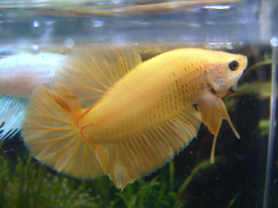 Yellow Halfmoon Plakat Betta
