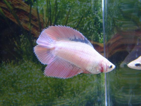 Pink Double Tail Halfmoon Female Betta