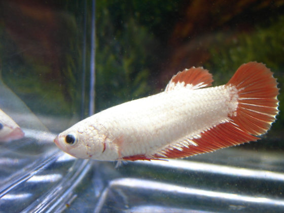Red Dragon Halfmoon Plakat Female Betta