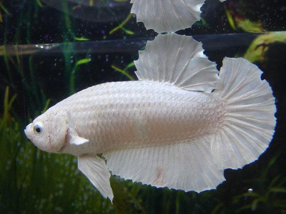 White Dragon Halfmoon Plakat Betta