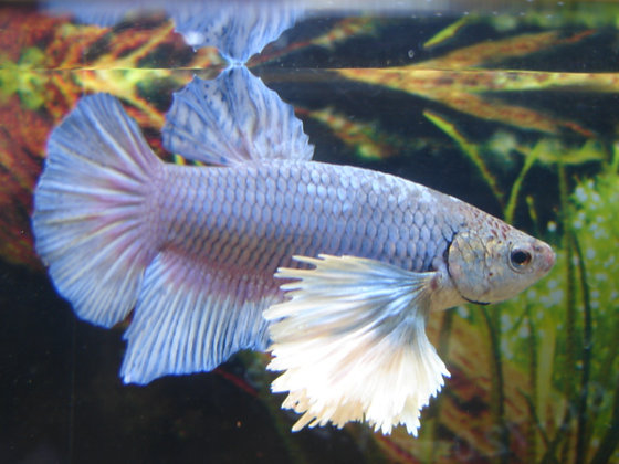 Blue Dumbo Ears Halfmoon Plakat Betta