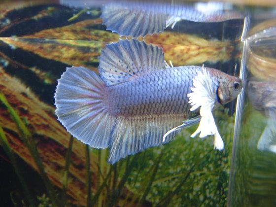 Blue Dumbo Ears Halfmoon Plakat Betta