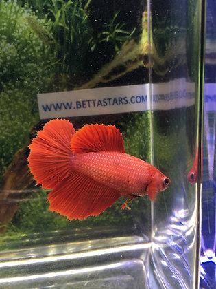 Super Red Red Halfmoon Female Betta