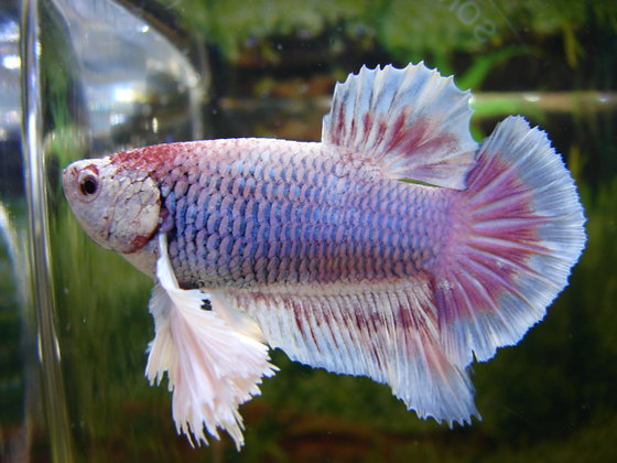 Pink Halfmoon Plakat Dumbo Ears Betta