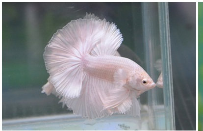 White Dragon Halfmoon Betta