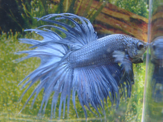 Royal Blue Crowntail Betta