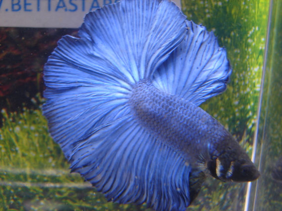 Royal Blue Halfmoon Betta