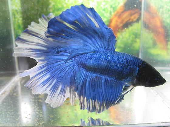 Blue Lunar Halfmoon Betta