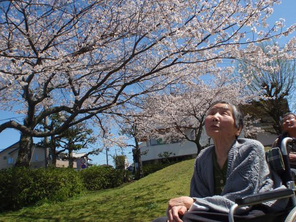 桜花見に行きました。