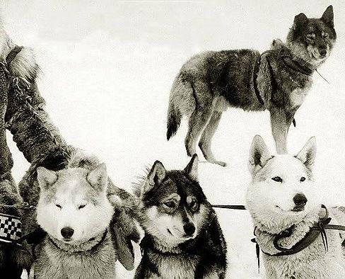 Seppala's dogs.jpg