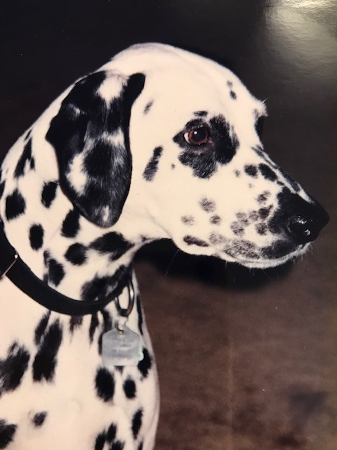 Patches, beloved Dalmation of Sharon Carne
