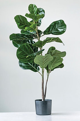 Hailey Fiddle Fig Plant