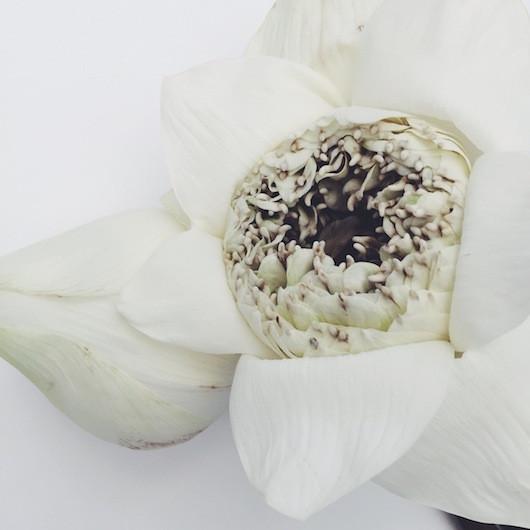 Blooms in Season - Lotus Blossom