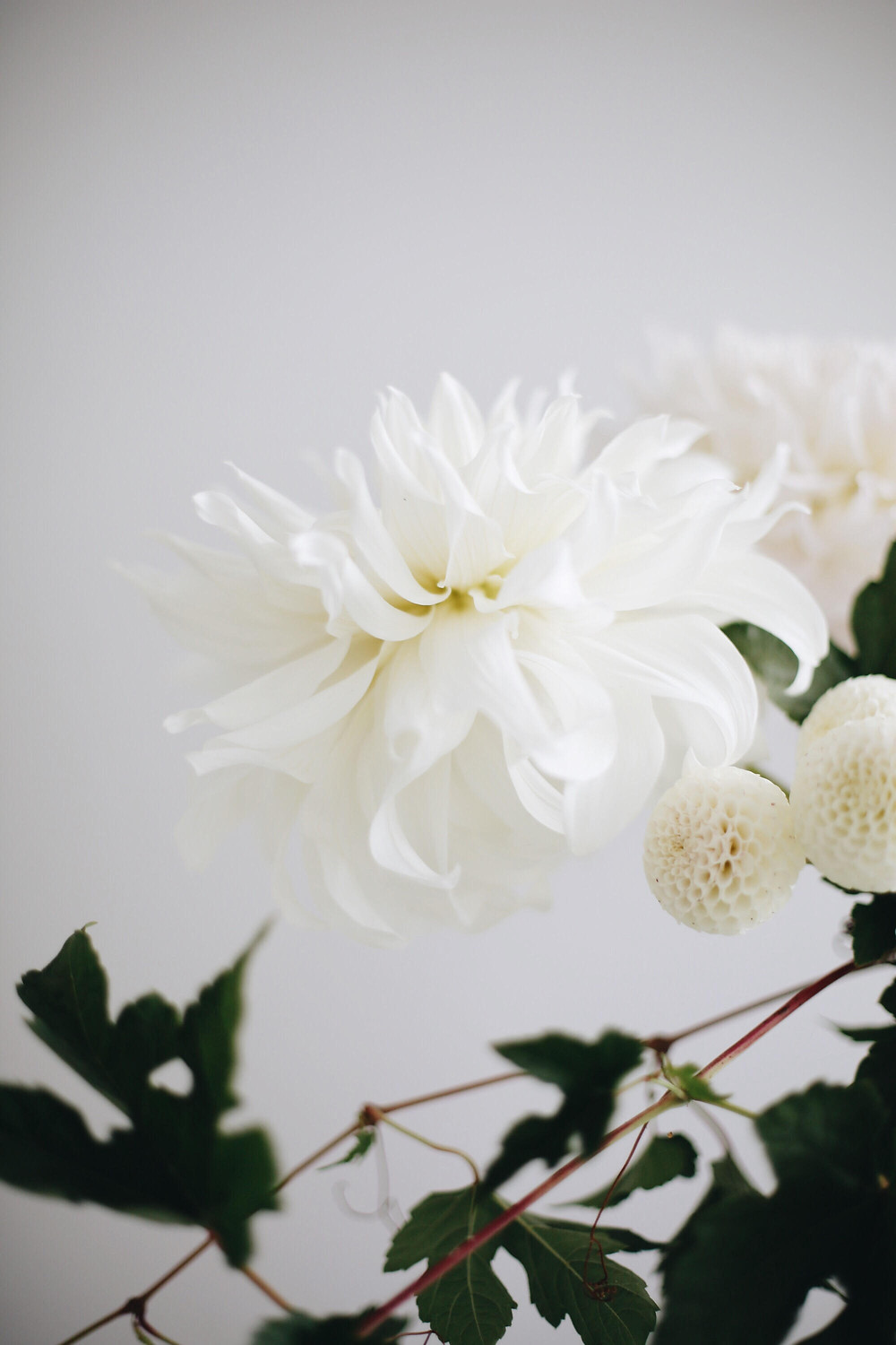Blooms in Season - Dreamy Dahlias